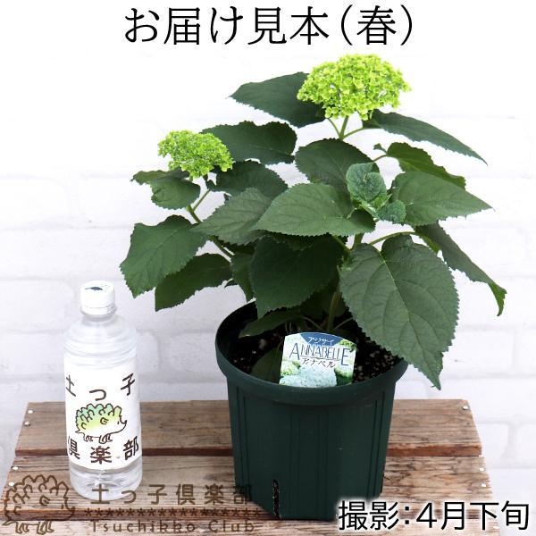 アジサイ 『 アナベル 』 白 6号スリット鉢植え 苗木|produce87|02