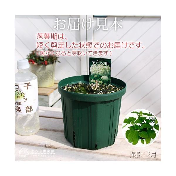 アジサイ 『 アナベル 』 白 6号スリット鉢植え 苗木|produce87|03