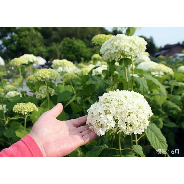 アジサイ 『 アナベル 』 白 6号スリット鉢植え 苗木|produce87|04