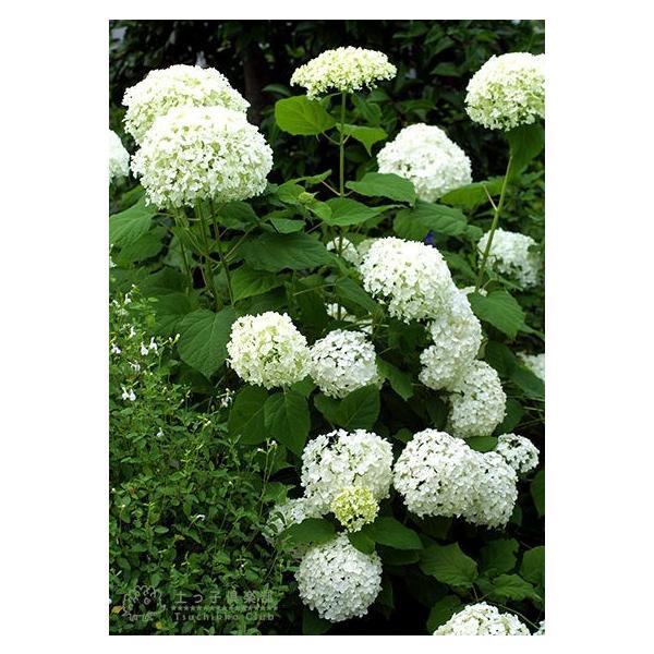 アジサイ 『 アナベル 』 白 6号スリット鉢植え 苗木|produce87|05