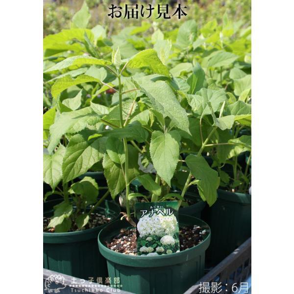 アジサイ 『 アナベル 』 白 6号スリット鉢植え 苗木|produce87|06