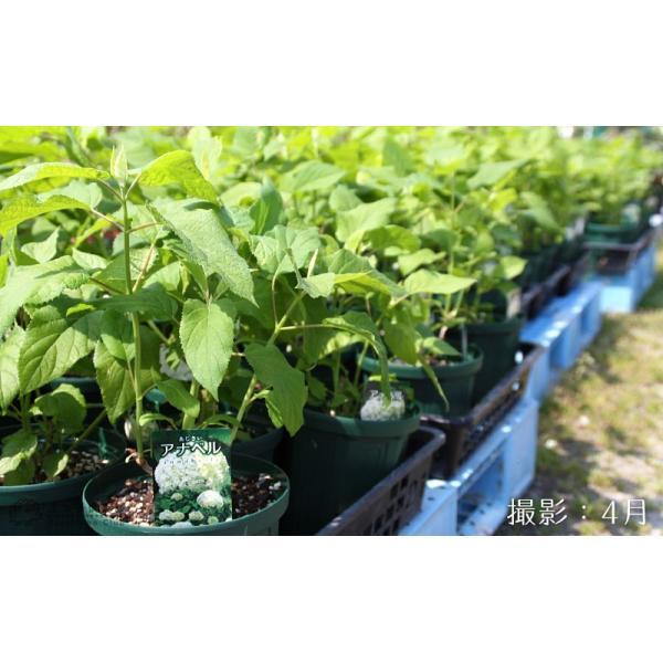 アジサイ 『 アナベル 』 白 6号スリット鉢植え 苗木|produce87|08