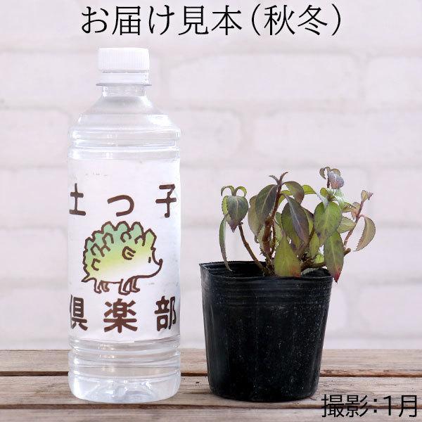 常緑アジサイ 『 碧の瞳 ( アオノヒトミ ) 』9cmポット苗 珍種|produce87|03