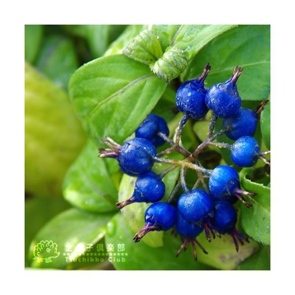 常緑アジサイ 『 碧の瞳 ( アオノヒトミ ) 』9cmポット苗 珍種|produce87|05