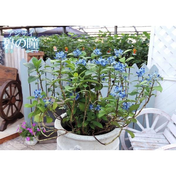 常緑アジサイ 『 碧の瞳 ( アオノヒトミ ) 』9cmポット苗 珍種|produce87|06