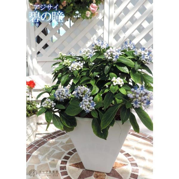 常緑アジサイ 『 碧の瞳 ( アオノヒトミ ) 』9cmポット苗 珍種|produce87|08