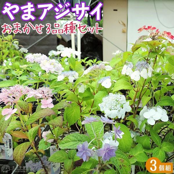 ヤマアジサイ おまかせ3品種セット ( 9cmポット苗 3株 )|produce87