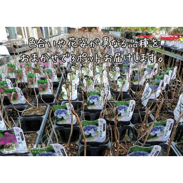 ヤマアジサイ おまかせ3品種セット ( 9cmポット苗 3株 )|produce87|02