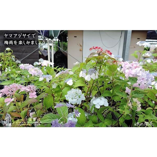 ヤマアジサイ おまかせ3品種セット ( 9cmポット苗 3株 )|produce87|06