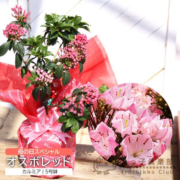 ( 母の日のプレゼント )カルミア『 オスボレッド 』5号鉢 送料無料|produce87