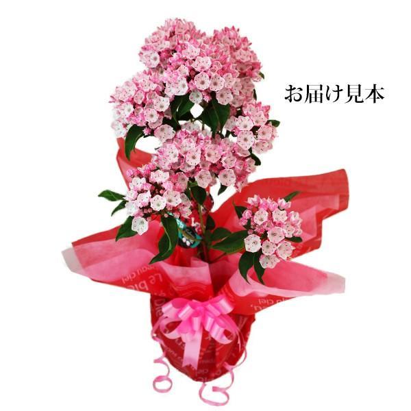 ( 母の日のプレゼント )カルミア『 オスボレッド 』5号鉢 送料無料|produce87|02
