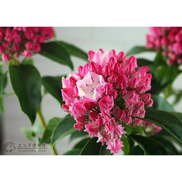 ( 母の日のプレゼント )カルミア『 オスボレッド 』5号鉢 送料無料|produce87|04
