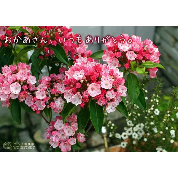 ( 母の日のプレゼント )カルミア『 オスボレッド 』5号鉢 送料無料|produce87|05