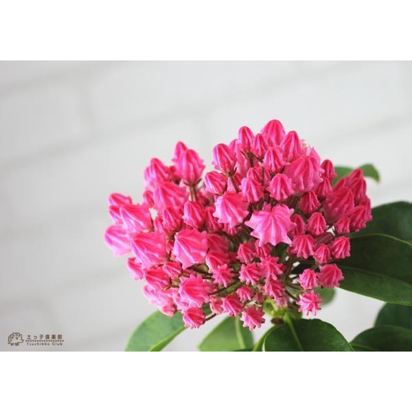 ( 母の日のプレゼント )カルミア『 オスボレッド 』5号鉢 送料無料|produce87|07