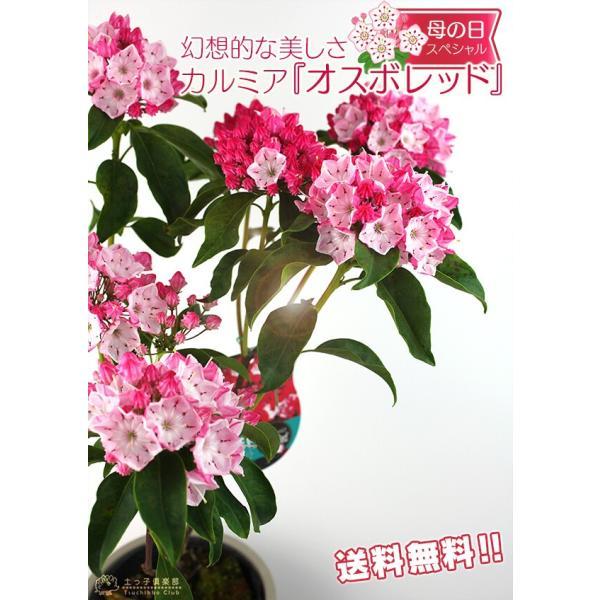 ( 母の日のプレゼント )カルミア『 オスボレッド 』5号鉢 送料無料|produce87|08