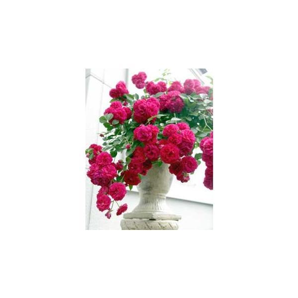 ツルバラ  『 キングローズ 』 2個セット 送料無料 9cmポット苗|produce87|04