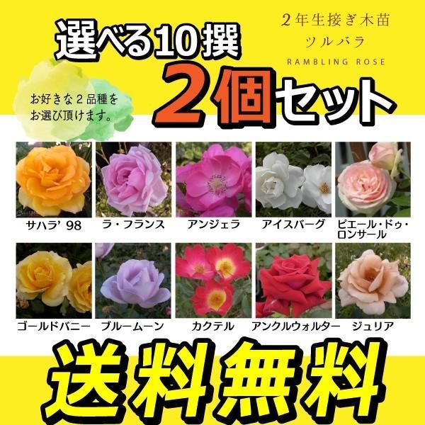 ツルバラ 選べる品種 2個セット 送料無料 薔薇 2年生接 ぎ木苗 ( クライミングローズ )|produce87|03