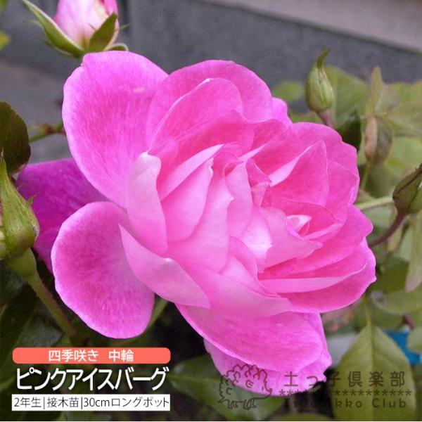 四季咲き中輪 『 ピンクアイスバーグ 』 2年生接 ぎ木苗 (フロリバンダローズ)|produce87