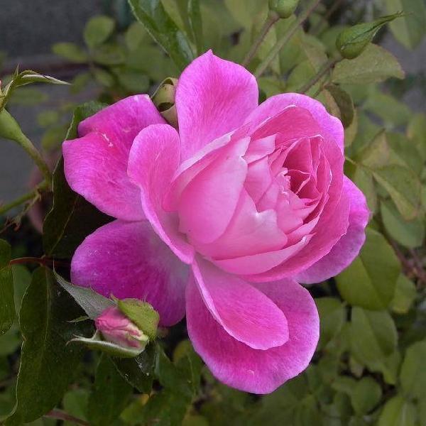 四季咲き中輪 『 ピンクアイスバーグ 』 2年生接 ぎ木苗 (フロリバンダローズ)|produce87|02