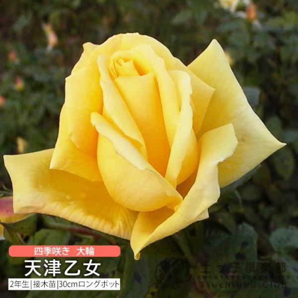 四季咲き大輪 『天津乙女』 2年生接 ぎ木苗 ( ハイブリットティーローズ )|produce87