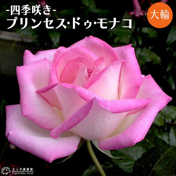 四季咲き大輪 『 プリンセス・ドゥ・モナコ 』 2年生接 ぎ木苗 ( ハイブリットティーローズ ) produce87