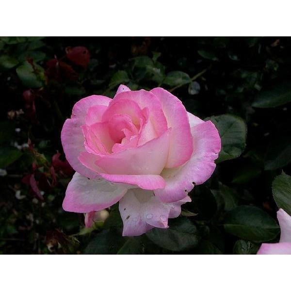 四季咲き大輪 『 プリンセス・ドゥ・モナコ 』 2年生接 ぎ木苗 ( ハイブリットティーローズ ) produce87 03