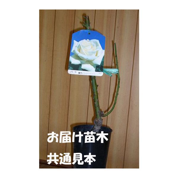 四季咲き大輪 『 プリンセス・ドゥ・モナコ 』 2年生接 ぎ木苗 ( ハイブリットティーローズ ) produce87 04