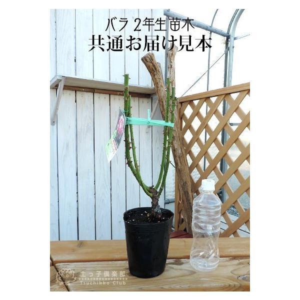 四季咲き大輪 『 レッドクイーン 』 2年生接 ぎ木苗 ( ハイブリットティーローズ )|produce87|02