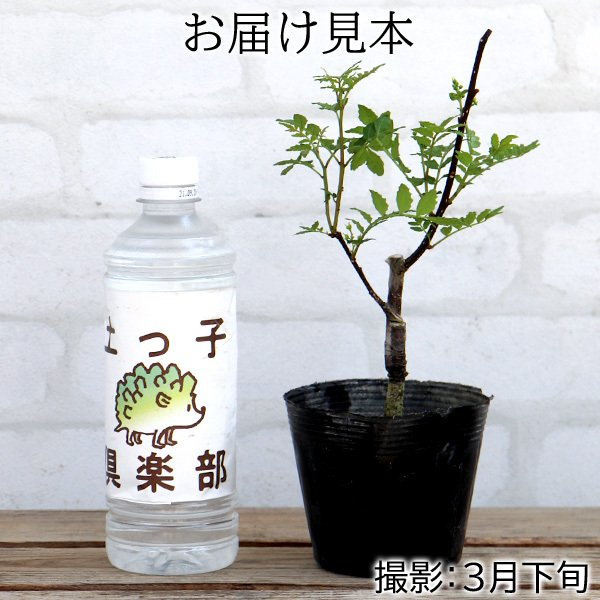 山椒 『 朝倉サンショウ 』 10.5cmポット接木苗|produce87|02