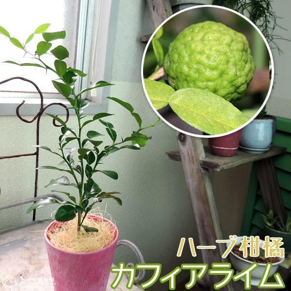 ハーブ柑橘 『 カフィアライム 』 こぶみかん  9cmポット苗 produce87