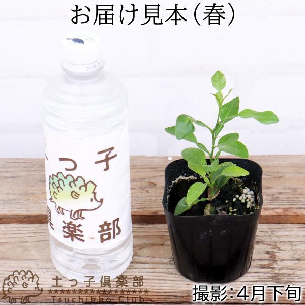 ハーブ柑橘 『 カフィアライム 』 こぶみかん  9cmポット苗 produce87 02