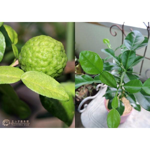 ハーブ柑橘 『 カフィアライム 』 こぶみかん  9cmポット苗 produce87 07