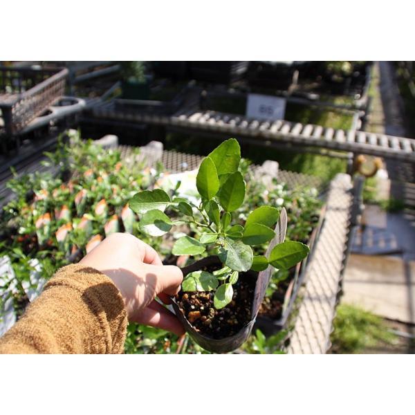 ハーブ柑橘 『 カフィアライム 』 こぶみかん  9cmポット苗 produce87 08