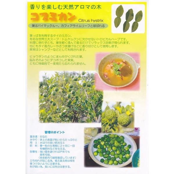 ハーブ柑橘 『 カフィアライム 』 こぶみかん  9cmポット苗 produce87 09