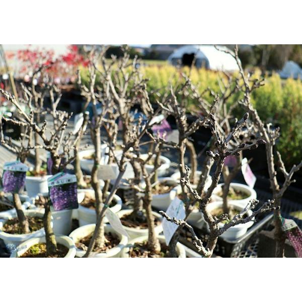 長崎一才藤 ( 花ふじ ) 6号鉢植え|produce87|09