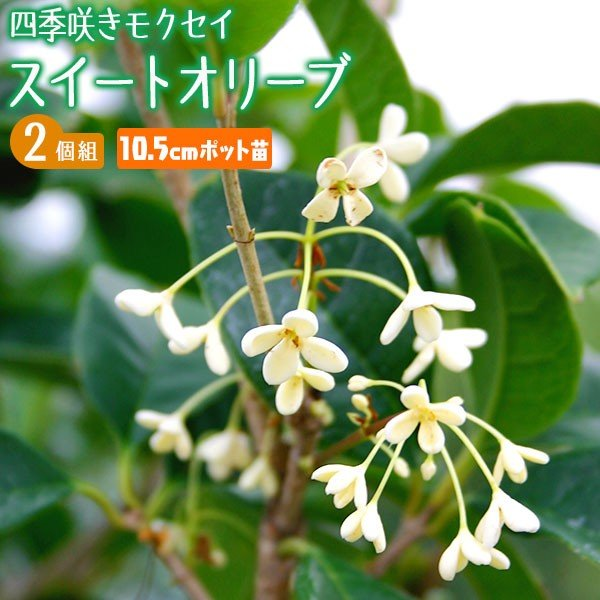 スイートオリーブ 『 四季咲きモクセイ 』 10.5cmポット苗 2個組|produce87