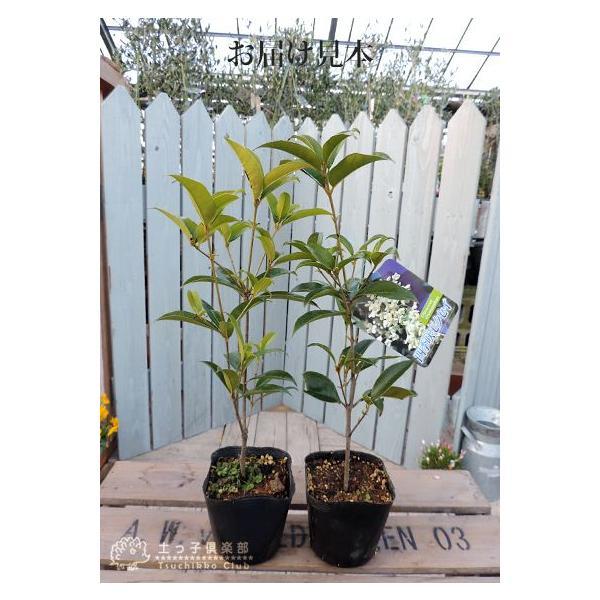 スイートオリーブ 『 四季咲きモクセイ 』 10.5cmポット苗 2個組|produce87|02