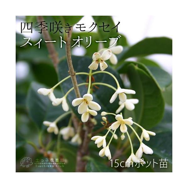 スイートオリーブ 『 四季咲きモクセイ 』 10.5cmポット苗 2個組|produce87|03