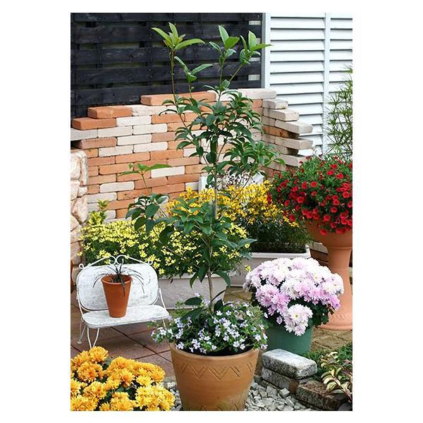 スイートオリーブ 『 四季咲きモクセイ 』 10.5cmポット苗 2個組|produce87|04