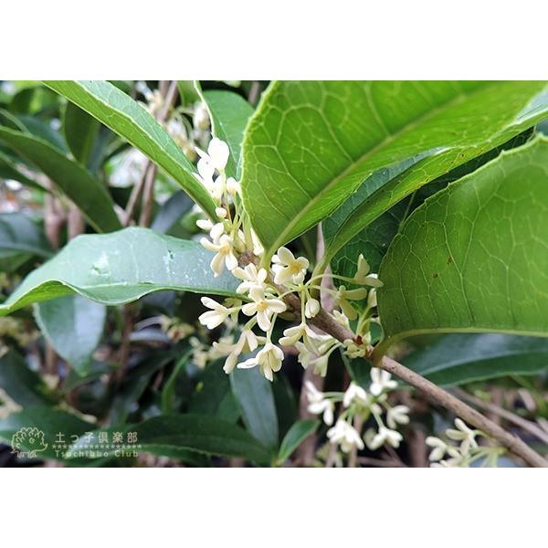 スイートオリーブ 『 四季咲きモクセイ 』 10.5cmポット苗 2個組|produce87|05