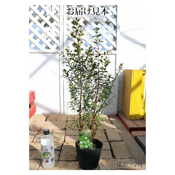 香る花木 『 銀梅花 ( ギンバイカ ) 』 マートル 15cmポット苗|produce87|02