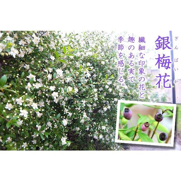 香る花木 『 銀梅花 ( ギンバイカ ) 』 マートル 15cmポット苗|produce87|04