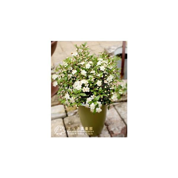 香る花木 『 銀梅花 ( ギンバイカ ) 』 マートル 15cmポット苗|produce87|07