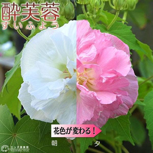 酔芙蓉 (スイフヨウ) 9cmポット苗|produce87