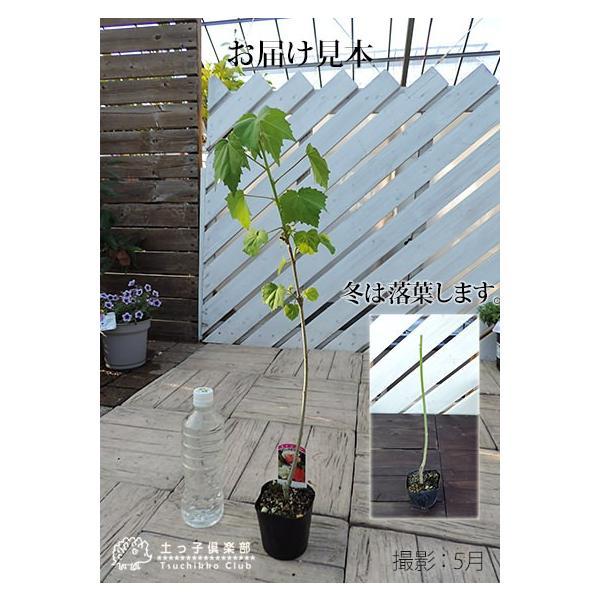 酔芙蓉 (スイフヨウ) 9cmポット苗|produce87|02