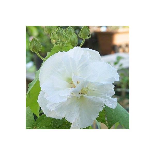 酔芙蓉 (スイフヨウ) 9cmポット苗 |produce87|05