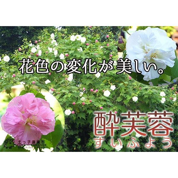 酔芙蓉 (スイフヨウ) 9cmポット苗|produce87|06