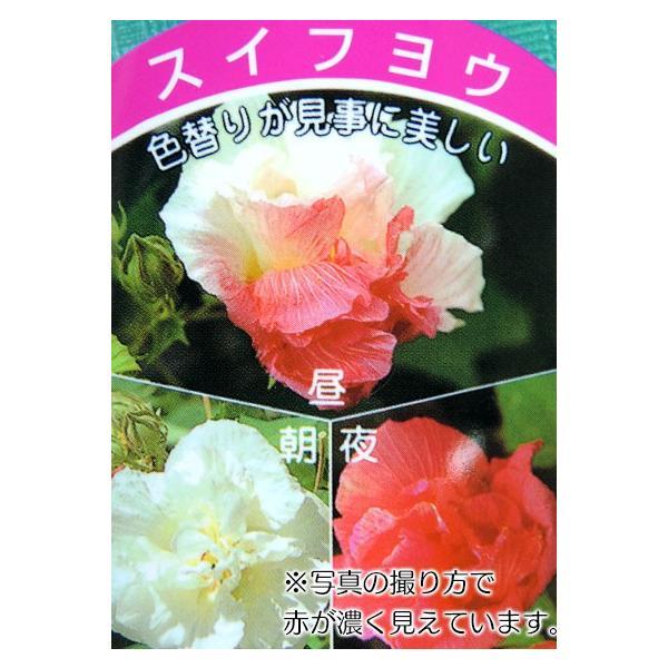 酔芙蓉 (スイフヨウ) 9cmポット苗|produce87|07