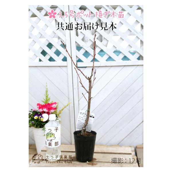 桜 『 楊貴妃( ヨウキヒ )』 接ぎ木 10.5cmポット 苗木|produce87|02