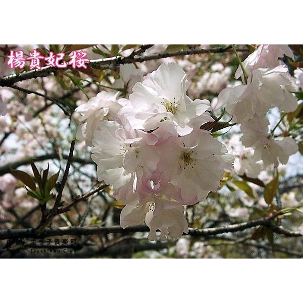 桜 『 楊貴妃( ヨウキヒ )』 接ぎ木 10.5cmポット 苗木|produce87|03